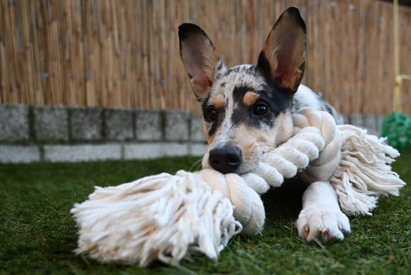 Puppy speelt met touw