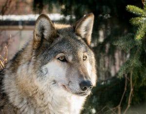 Wolf hoofd in natuur